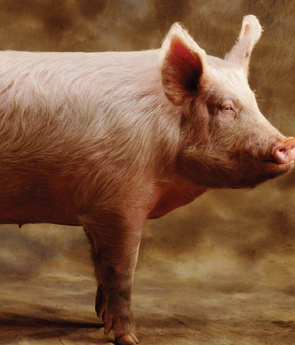 На живца: снижается стоимость свиней в живом весе