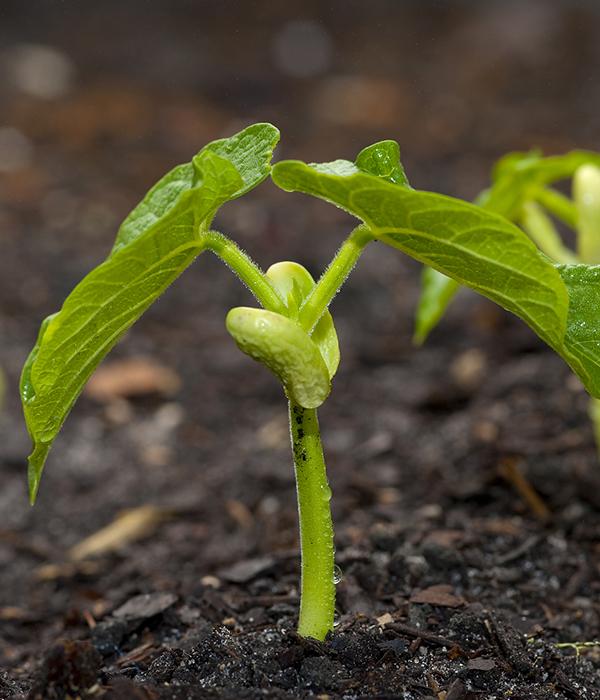 Ученые: длинные корни — залог высокой урожайности