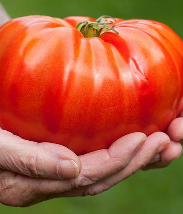 В Катаре вырастили гигантский органический томат