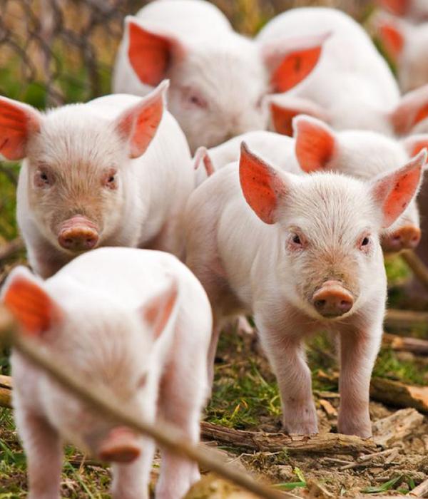 2018: Сокращается поголовье свиней