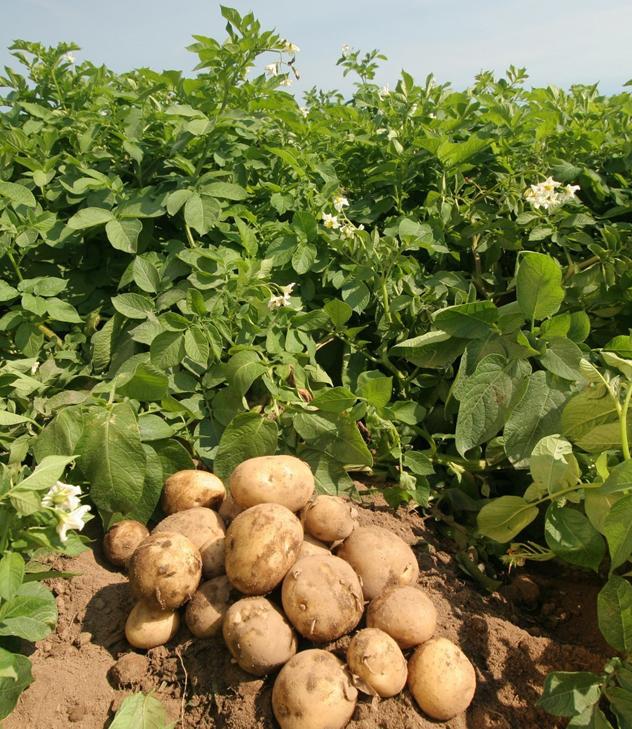 Британские исследователи разрабатывают высокоточную систему ирригации картофеля