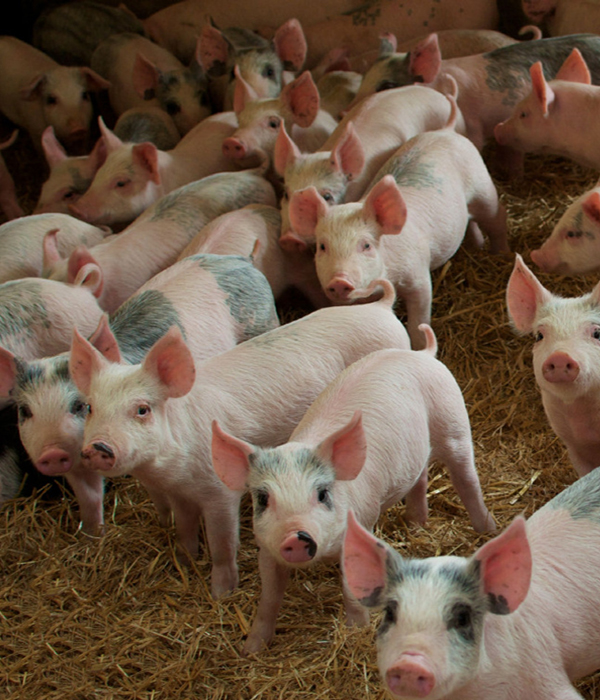Китайские фермеры используют искусственный интеллект для управления свинофермами