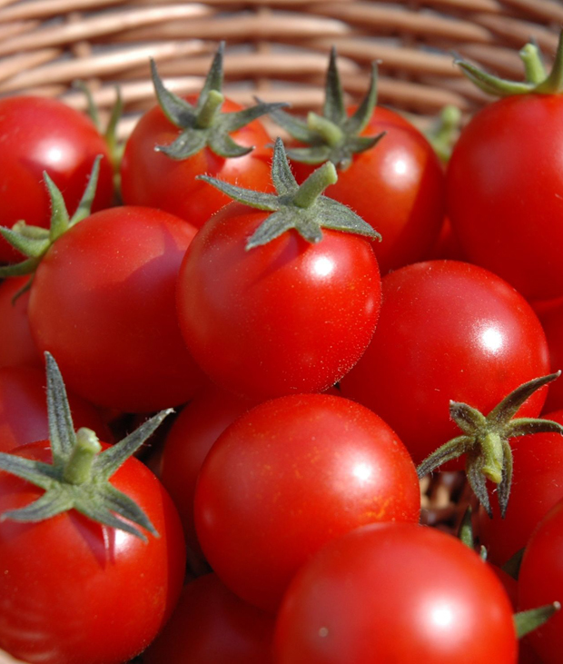Немецкая компания выращивает помидоры круглый год