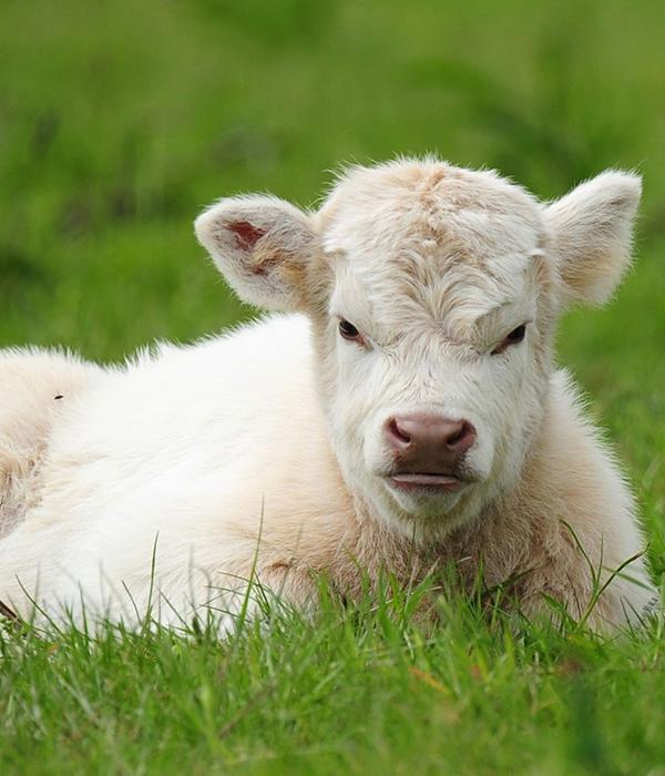 Плюшевые коровы вызвали настоящий ажиотаж в соцсетях (ФОТО)