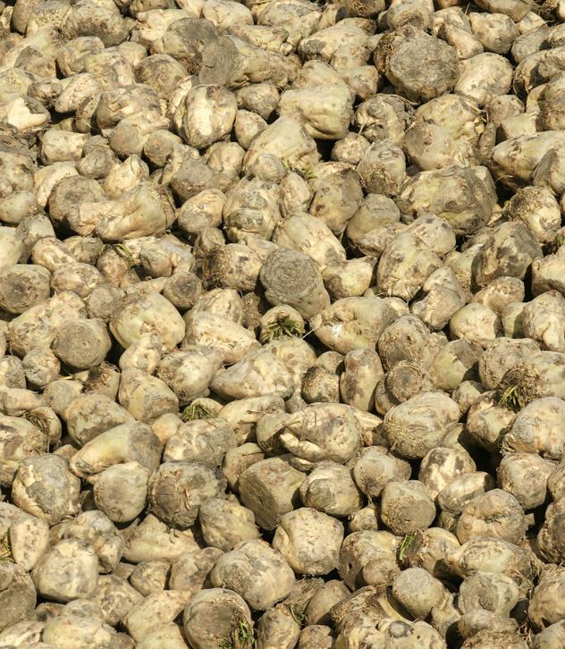 Украина будет участвовать в международной торговле семенами сахарной свеклы