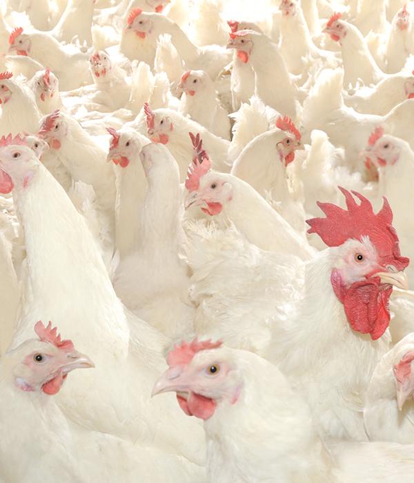 Украина заняла первое место по поставкам мяса птицы в страны ЕС