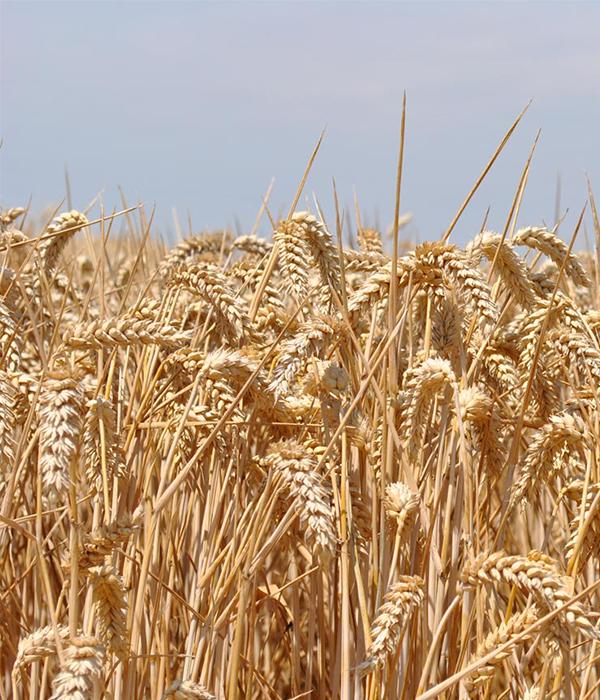 Увеличился спрос, подорожала украинская пшеница