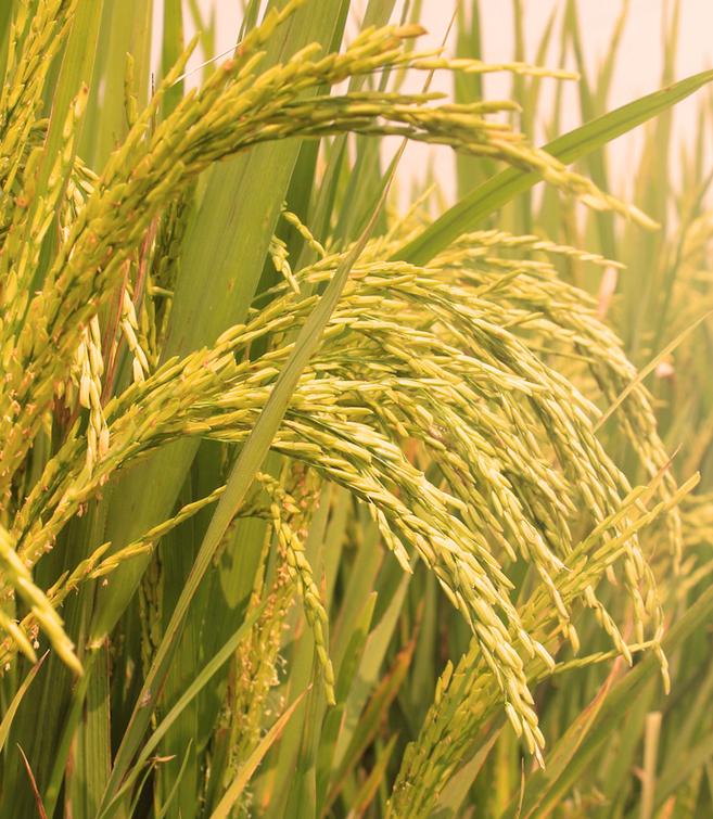 Китайские исследователи обнаружили ген, увеличивающий урожайность риса в соленой почве