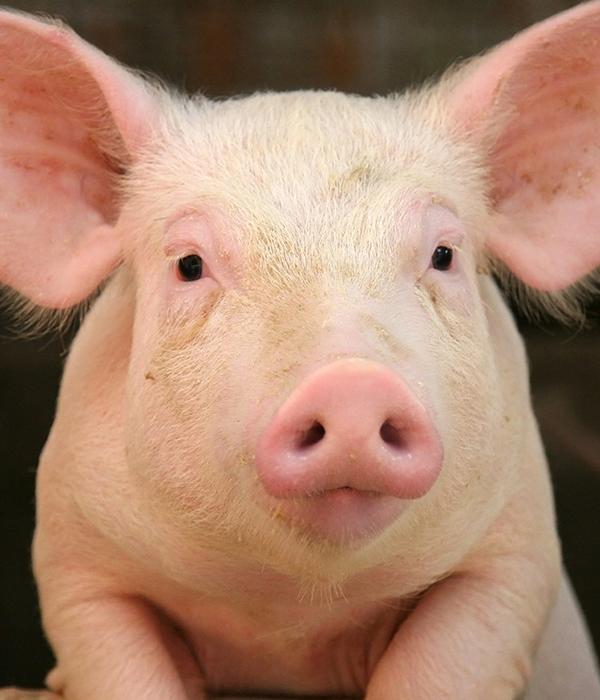 В Китае строят многоэтажные свинарники (ФОТО)