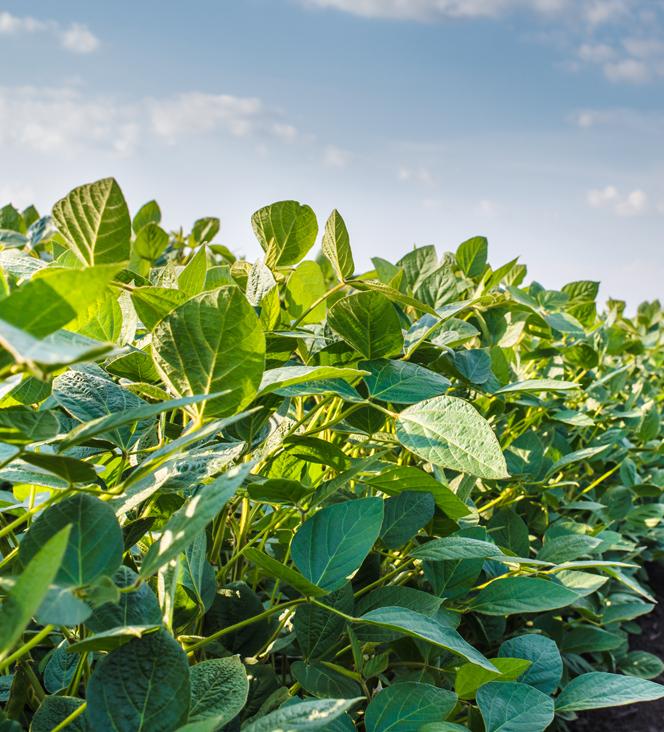 Виноград может повысить урожайность сои