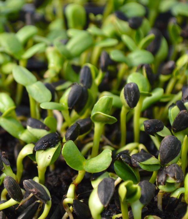 Выращивание микрозелени становится популярным трендом