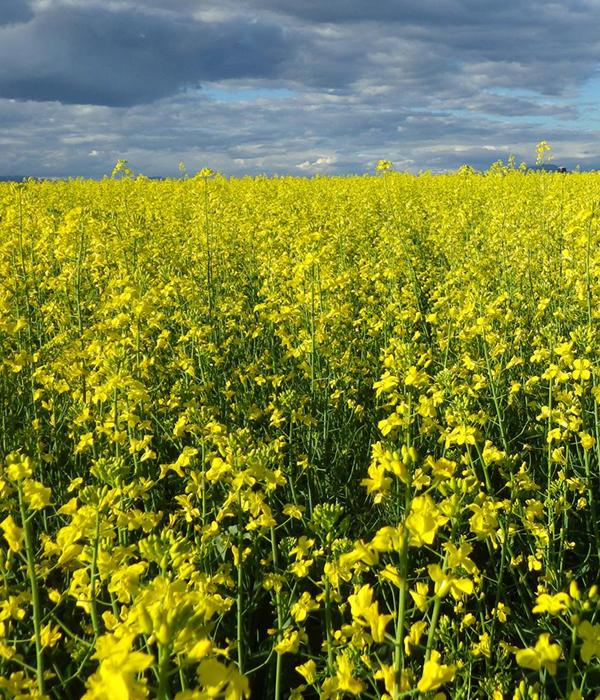 Опасный патоген угрожает производству масличного рапса