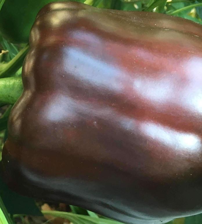 В Канаде вывели шоколадный перец