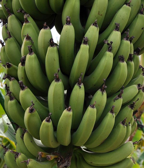 В Японии вывели морозоустойчивые бананы