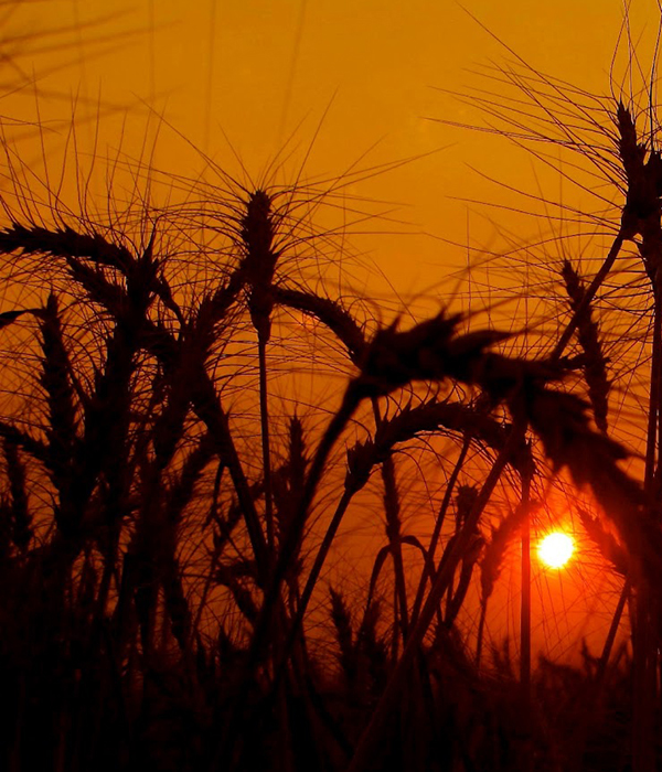 Американские ученые устанавливают взаимосвязь урожайности и ночных температур