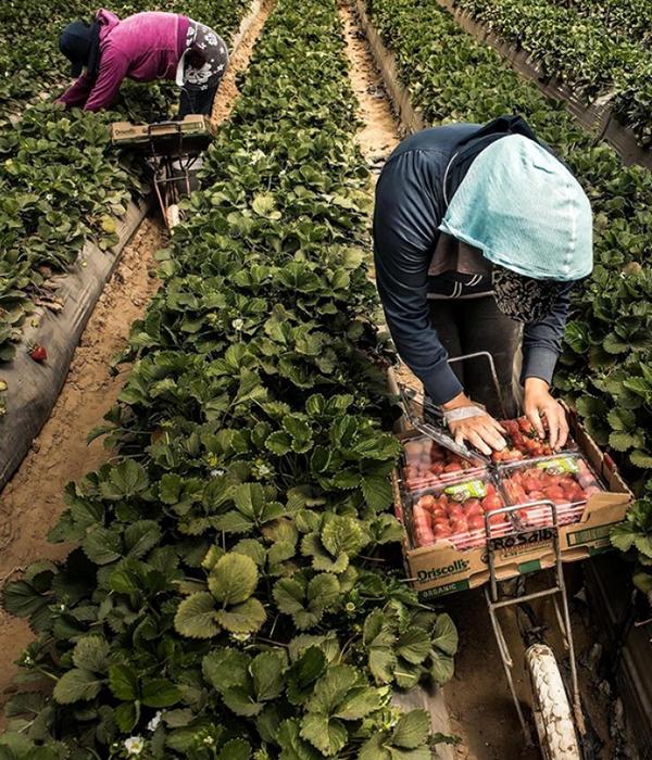 Фермы США неконкурентоспособны без рабочей силы из других стран