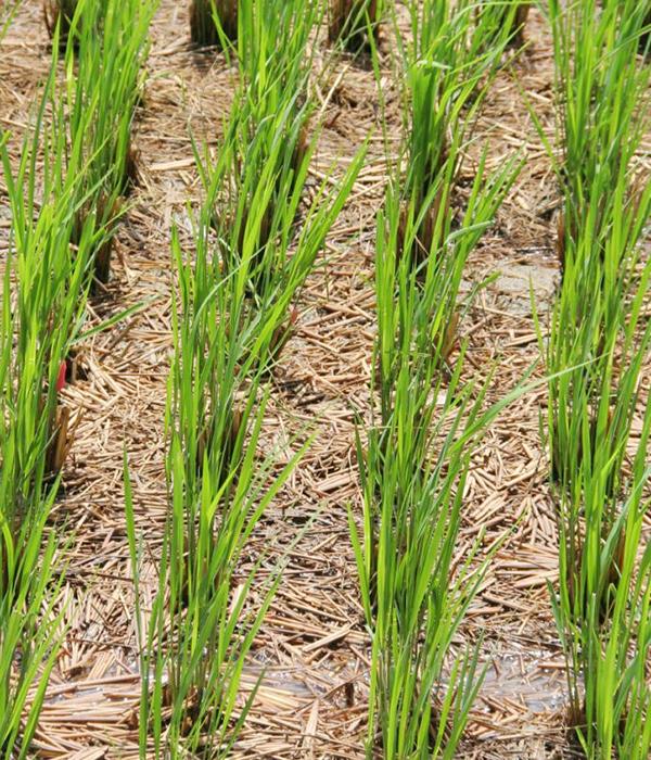 В Индии определили факторы, влияющие на устойчивость риса к засухе