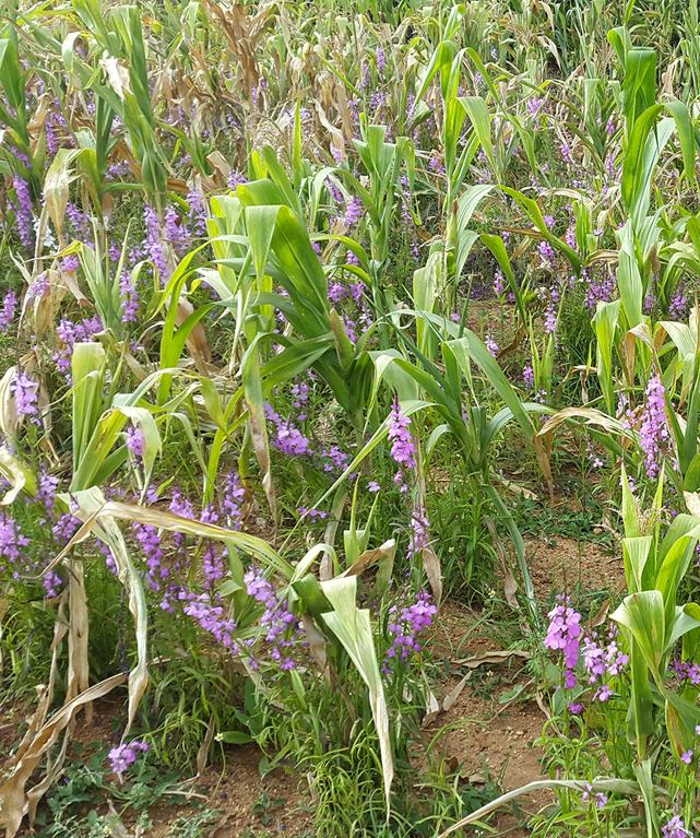 Высокое содержание белка в кукурузе повысило ее устойчивость к сорнякам