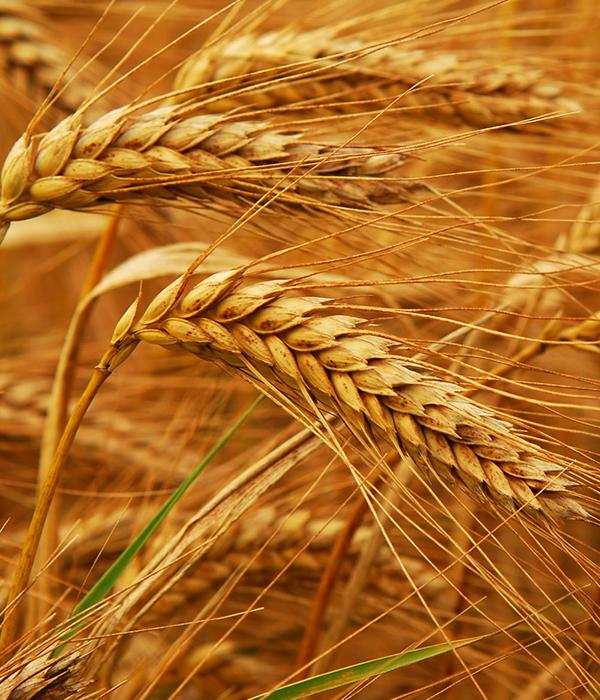 Минагропрод разработает новые требования к пшенице