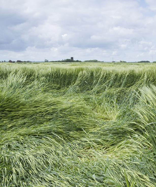Ученые нашли решение проблемы полегания зерновых