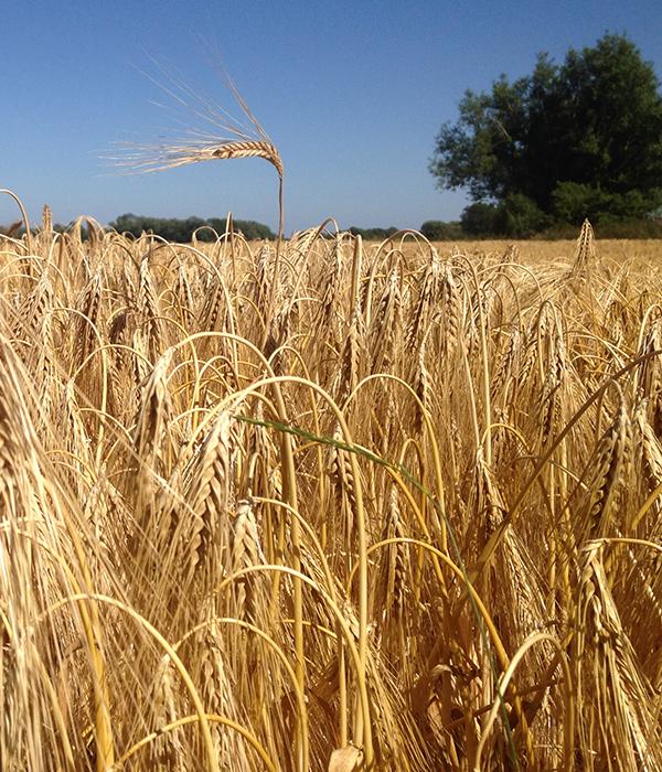 Жатва: собрано свыше 5 млн тонн озимой пшеницы