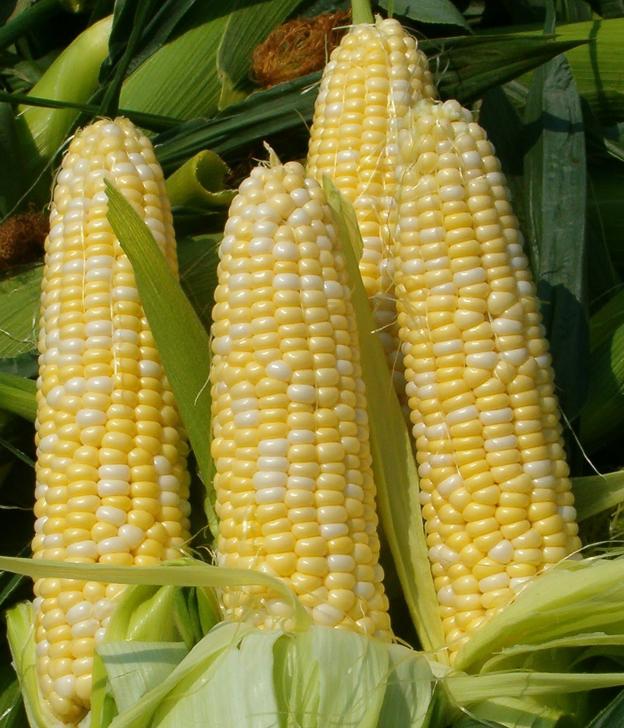 ГМ-кукуруза не влияет на работу полезных микроорганизмов