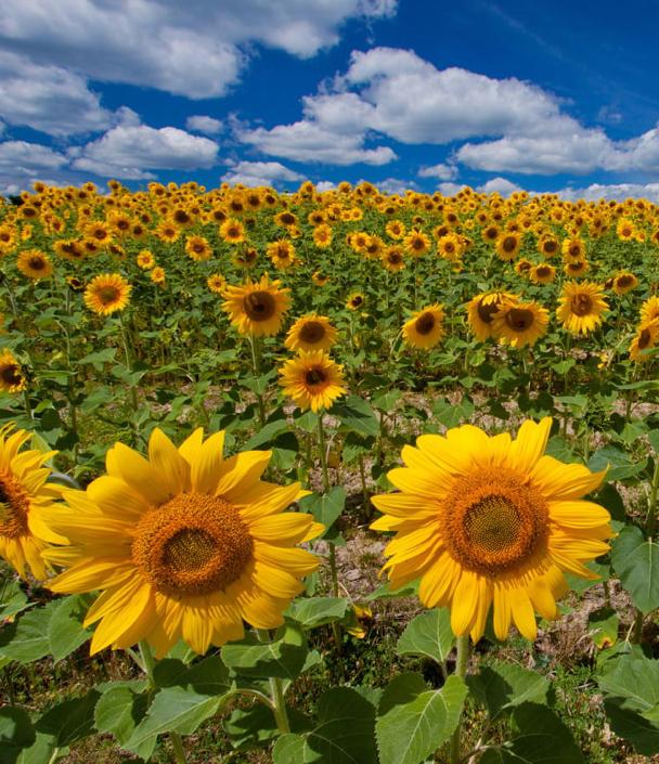 В Украине собрали свыше 90 тыс. тонн подсолнечника