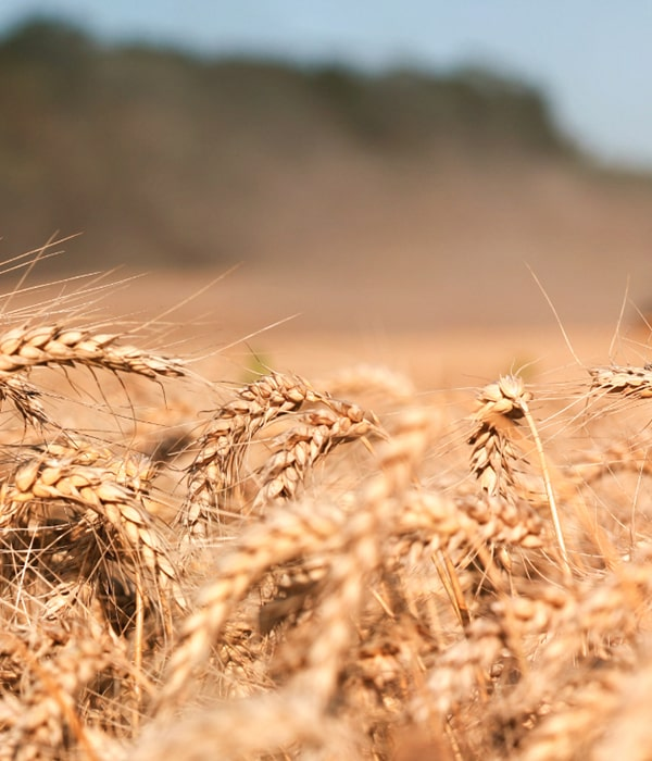Египет закупил 475 тысяч тонн украинской и российской пшеницы