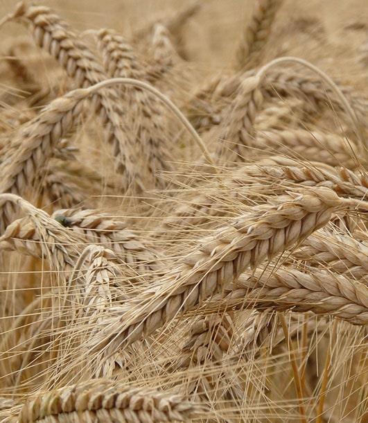ФАО: потребление зерна, запасы, торговля