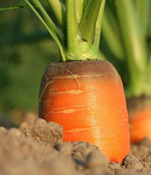 Украина вынуждена импортировать морковь (эксклюзив)