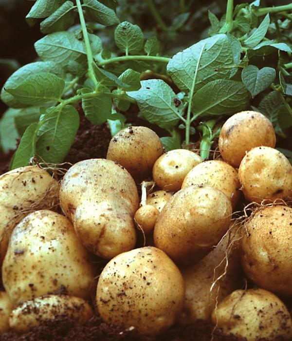 Засуха повлияла на урожай картофеля по всей Европе