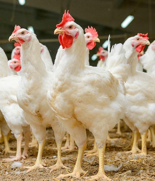 Американцы проинспектируют нашу систему госконтроля за здоровьем птицы