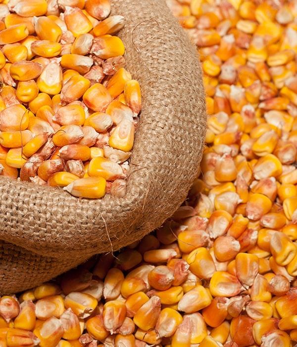 Экспорт кукурузы вырос на 150%