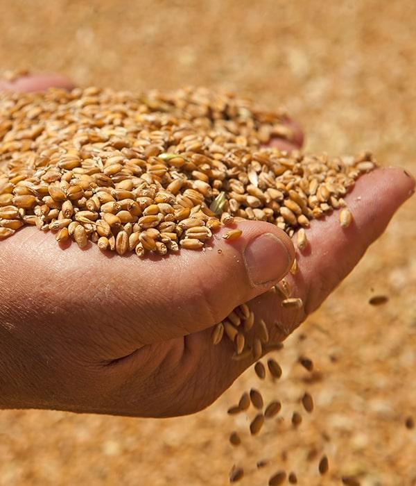 Появились новые данные по экспорту зерновых