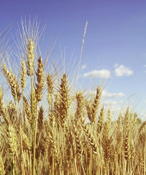 В Аргентине собираются выращивать ГМО-пшеницу
