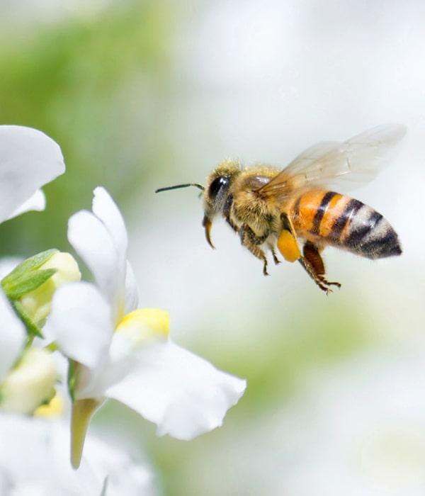Для сохранения популяции пчел немцы стали осторожнее использовать пестициды
