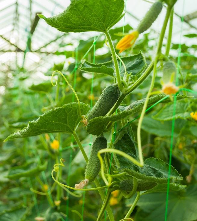 Международные исследователи продемонстрировали успешность выращивания овощей с помощью ИИ