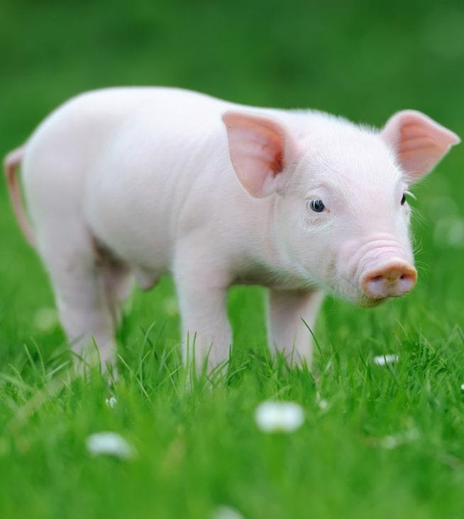 ТОП-5 мясных пород свиней