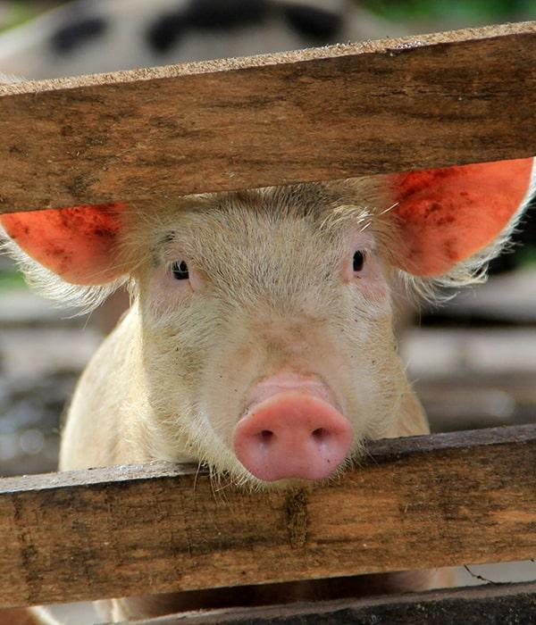 ТОП-5 свиней сальных пород (ФОТО)