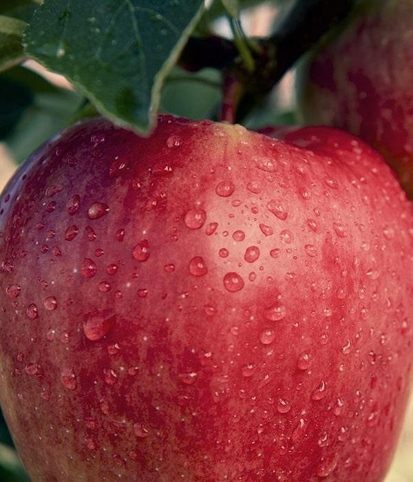Украина расширила географию экспорта яблок