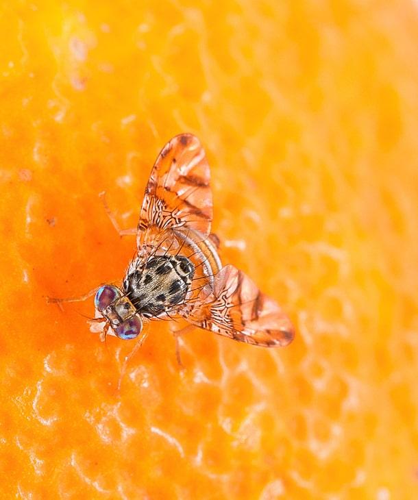 В Чили против плодовой мухи применили солнечные ловушки с дистанционным управлением