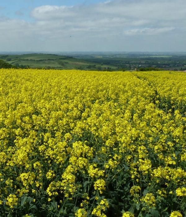 Посевы рапса в ЕС пострадали в результате засухи, возможно увеличение импорта
