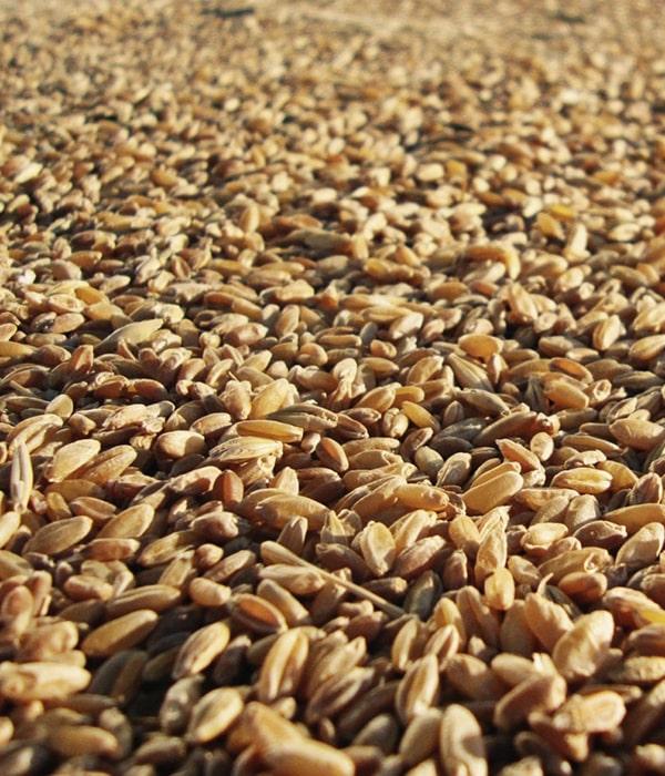 В главном аграрном ведомстве страны ожидают большой экспорт зерна