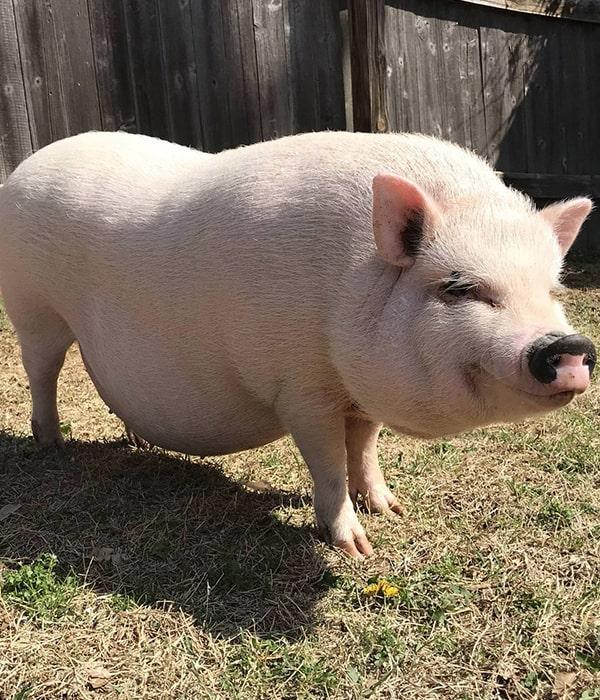 WikiHow: Как откормить свинью (ГРАФИКА)