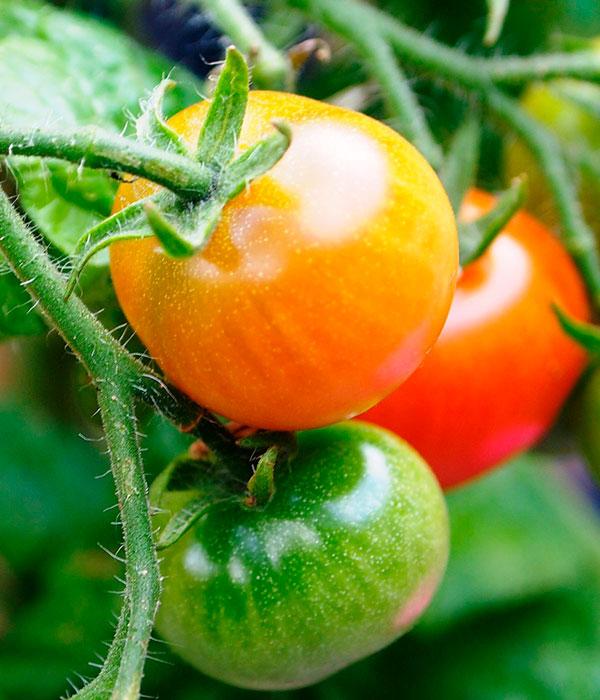Аромат томатов может защитить культуры от засухи и заболеваний