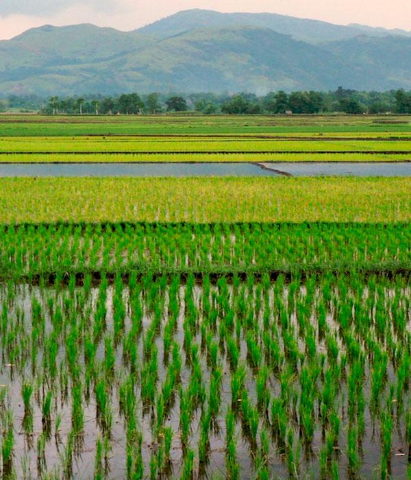 Австралийские исследователи обнаружили солеустойчивые разновидности риса