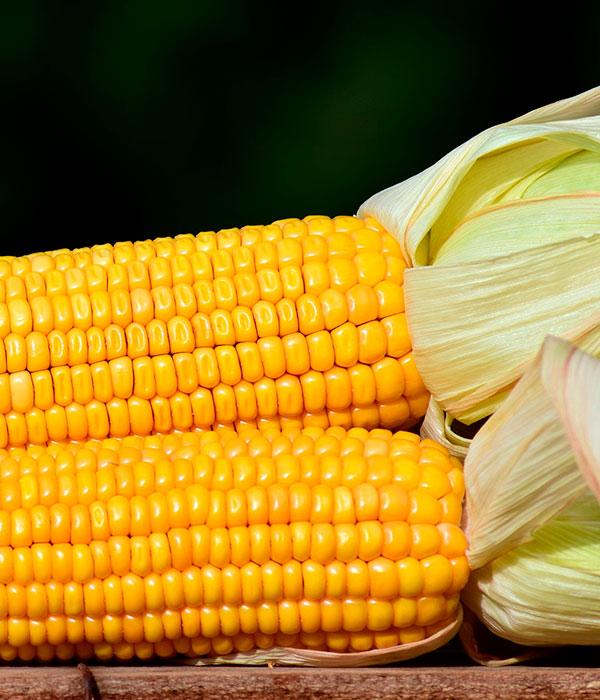 На Полтавщине собираются протестировать поздние гибриды кукурузы различных компаний