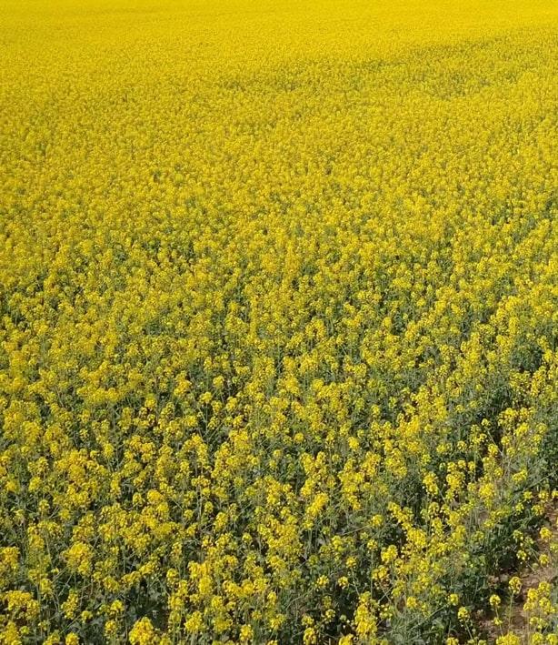 Французские и немецкие аграрии уничтожили тысячи гектаров посевов ГМО рапса