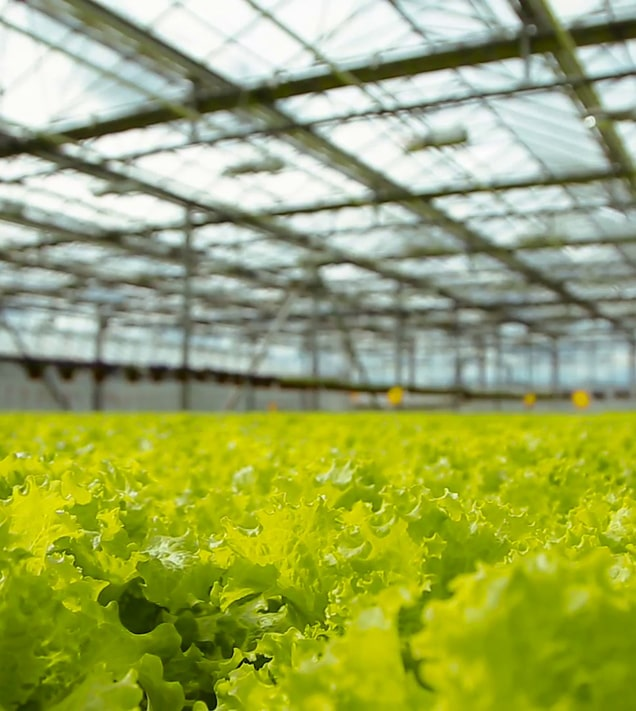 В Канаде роботы выращивают салат-латук