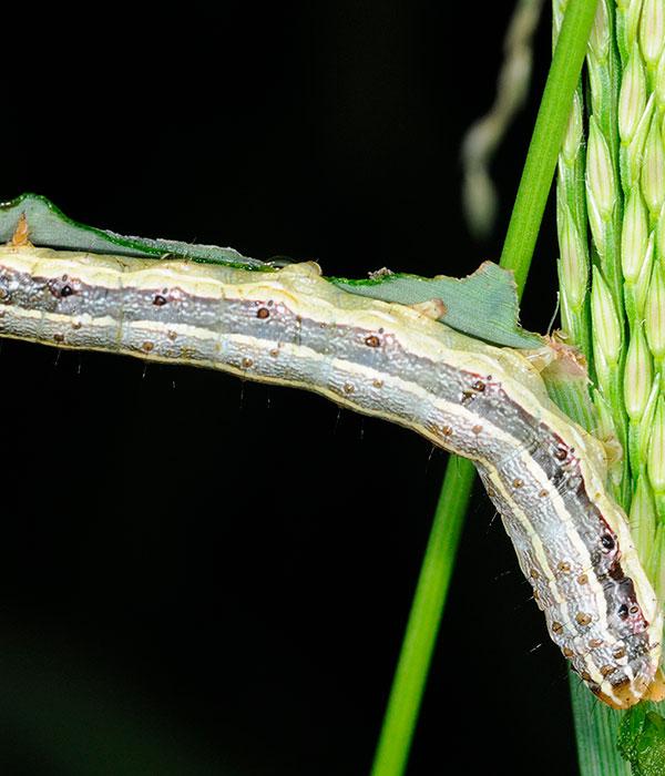 Засуха и вредители могут вынудить Индию разрешить беспошлинный импорт кукурузы